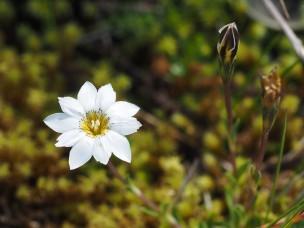 This flower had nice details on the inner corolla.........Esta flor tenía buenos detalles en la parte interior de la corola