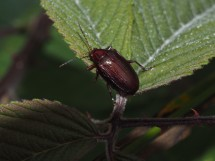 a relatively drab beetle, but with interesting dimples on its back.