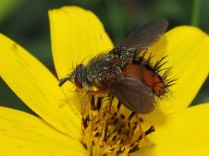a closer crop of the previous image - and some sharpening has been applied. This image shows the fly much better.