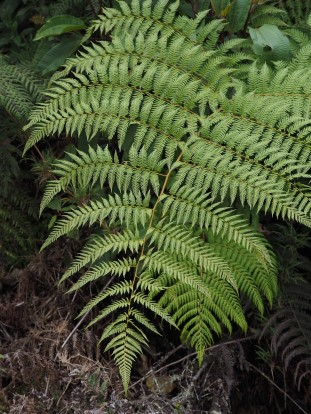 this fern frond isn't perfectly sharp. Ideally you want camera pointing perpendicular to plane of the subject, to get maximum focus of the subject and minimum distracting background. Wasn't entirely possible here.