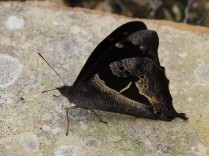 a butterfly. I have slightly brightened the thorax - it was darker on the original.