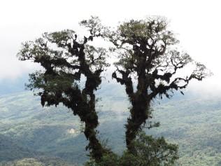 photo of tree with epiphytes with clear background........foto del árbol con epífitas con fondo claro