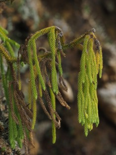 a Lycopodium species..........a Lycopodium species....