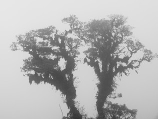 same tree (slightly different composition) under foggy conditions.........mismo árbol (composición ligeramente diferente) bajo condiciones de niebla