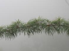 the fog here provides a background that separates the bamboo from the background. But the branch itself is not very exciting..........la niebla aquí proporciona un fondo que separa el bambú del fondo. Pero la rama sola no es muy interesante.