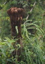do you prefer this image or the next one as the best example of the growing shoot of a tree fern?