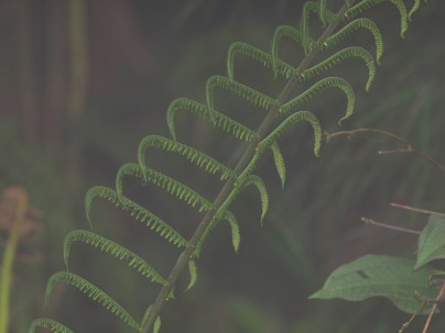 another fern frond, not fully unraveled. Also, in the fog.