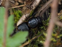 sometimes you have little control - here the beetle was escaping and under vegetation. Possibly sufficient to identify the species - but not a prize-winner for sure!