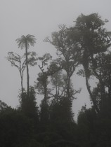 another image of tree fern and trees in the fog