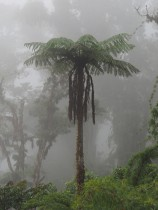 """""""standard"""" tree fern photo - only good aspect is the presence of fog to highlight the typical environmental conditions of tree ferns"""