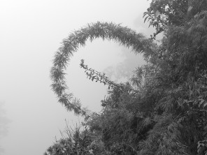 a grayscale version of this bamboo branch in the fog..........una versión en escala de grises de esta rama de bambú en la niebla