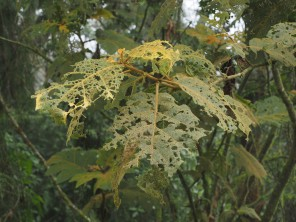 is this or the next image better to show a well-eaten leaf (or leaves)?