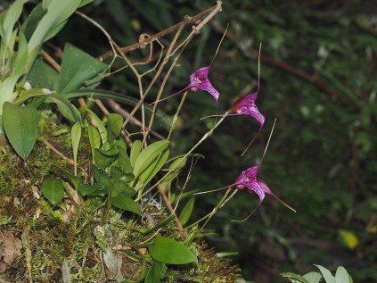 version 3 orchid. This is a flash photo, notice the darker background as the light drops off in intensity..............versión 3 orquídea. Esta es una foto con flash, observe el fondo más oscuro a medida que la luz disminuye en intensidad