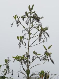 this tree/shrub was heavily insect eaten, a closer view is in the next image.