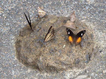 The butterflies are on the cow-pattie. Such an image can be used to discuss nutritional needs of butterflies...