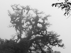 another tree with epiphytes