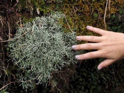a fruiticose lichen, with hand for scale.............un liquen forma de fruta, con una mano para escala.
