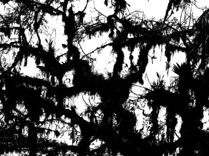 a crop of a heavily-laden tree with epiphytes