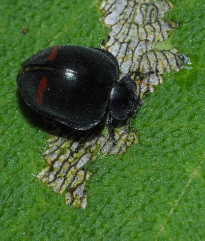 this image shows a beetle engaged in its main activity of eating the leaf of a plant. The beetle's shell isn't entirely in-focus, the the leaf is, as is the mouthpart.