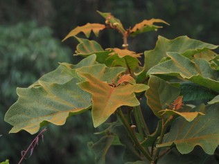 """this photo was taken to show the reddish """"fuz"""" (not a technical description!) on the leaf surface"""