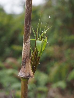 this photo of the new bamboo leaves shows guttation - excess water leaving the leaf tips...........esta foto de las nuevas hojas de bambú muestra gutación: exceso de agua que sale de las puntas de las hojas ...