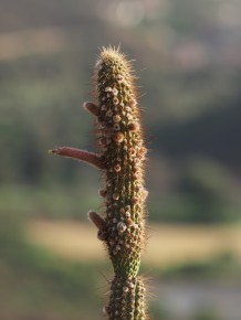 """close-up of one Cleistocactus stem, with a flower. Unfortunately the flower (on left) is in the shade, but the background is also darkish - so the result is """"tolerable"""". The very low sun angle helped.."""
