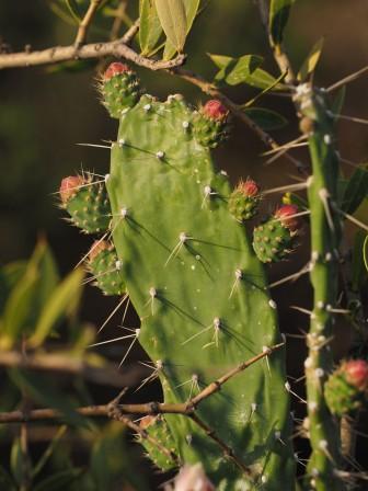An Opuntia (Taacinga?) species