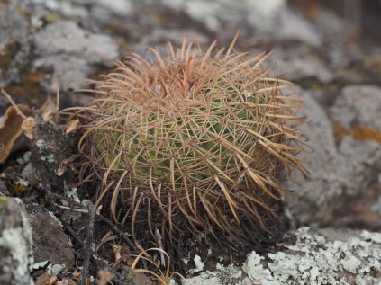 A Parodia schewbsiana (being shaded to reduce contrast). How large is the plant? Hard to judge without a scale.