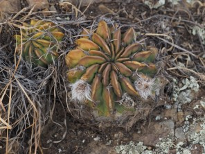 A closer view of Echinopsis with flower buds. All of these plants were in a state of considerable dessication due to drought and being at the end of the dry season.