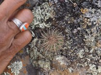 Rosario's finger and ring next to a small Parodia. Now we have scale. Unfortunately the finger is out-of-focus, but this is perhaps tolerable, though not ideal.