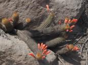 Cleistocactus (Loxanthocereus) acanthurus flowers 2