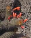 Cleistocactus (Loxanthocereus) acanthurus flowers