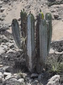 modest-sized Neoraimondia with epiphytes