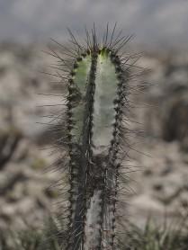 small plant Neoraimondia stem