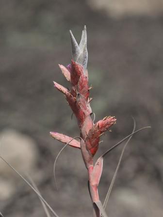 T. latifolia flower