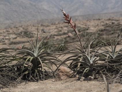 T. latifolia
