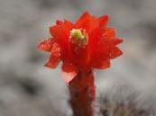 Cleistocactus (Loxanthocereus) acanthurus flower