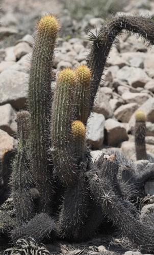 closer view of Haageocereus clump