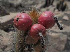 cluster of ripe fruit of Haageocereus