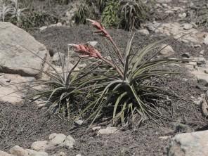 flowering T. latifolia