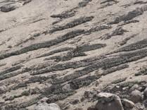 Tillandsia purpurea bands on steep hillside