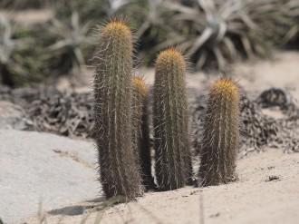small stems of Haageocereus