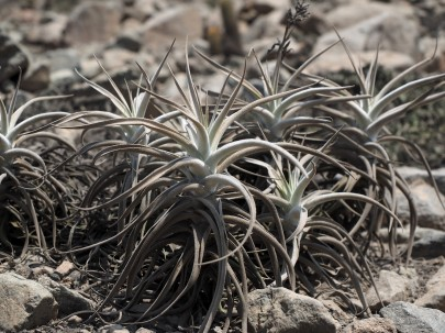 closer view of T. purpurea plants