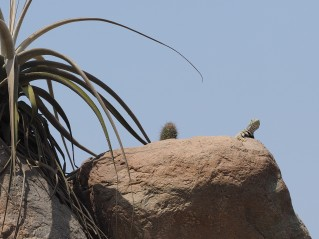 Tillandsia latifolia and Microlophus sps.