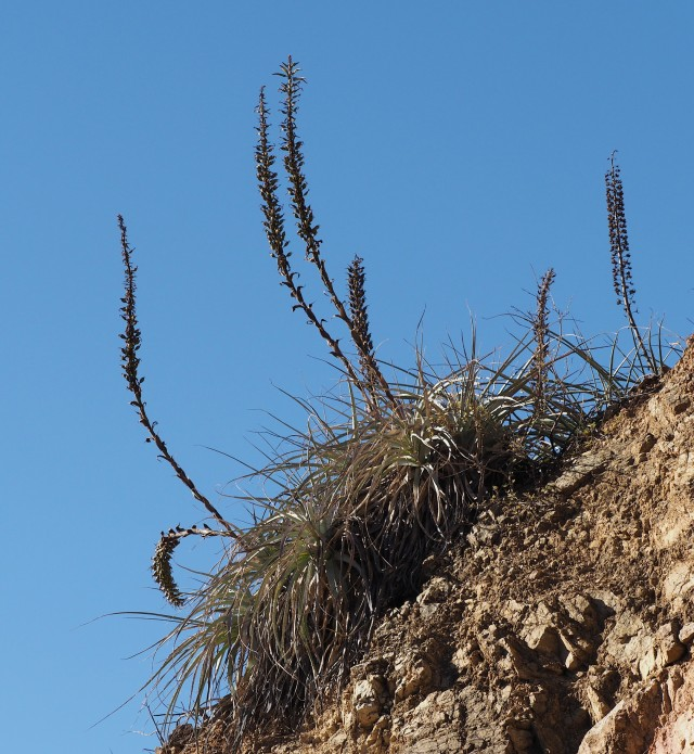 Dyckia species on the top of a road-cut with old flower stalks.