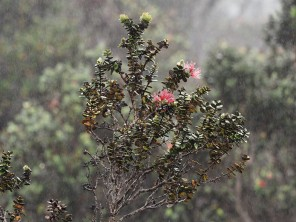 Ohia flowers on a large shrub in the rain off the Saddle Road on Hawaii.