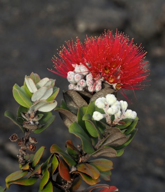 Ohia flower and young leaves