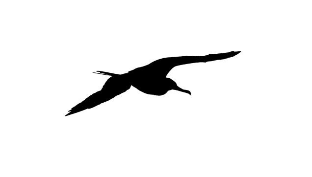 Greater Frigatebird silhouette
