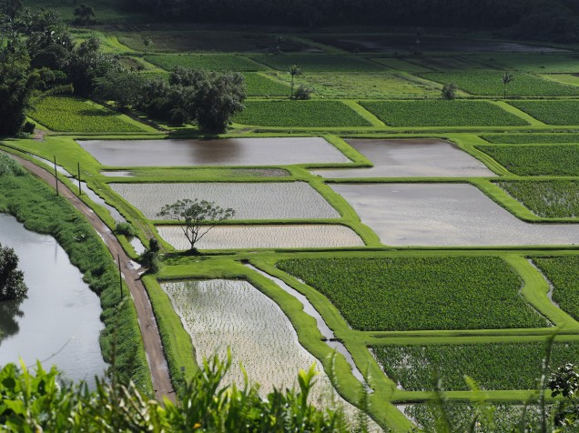 Taro fields that are part of a National Wildlife Refuge.