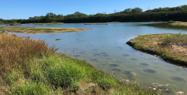 "Kawai'ele Waterbird Sanctuary showing fish ""bowles: maintained by a single fish. Intoduced Agave stalks in background."